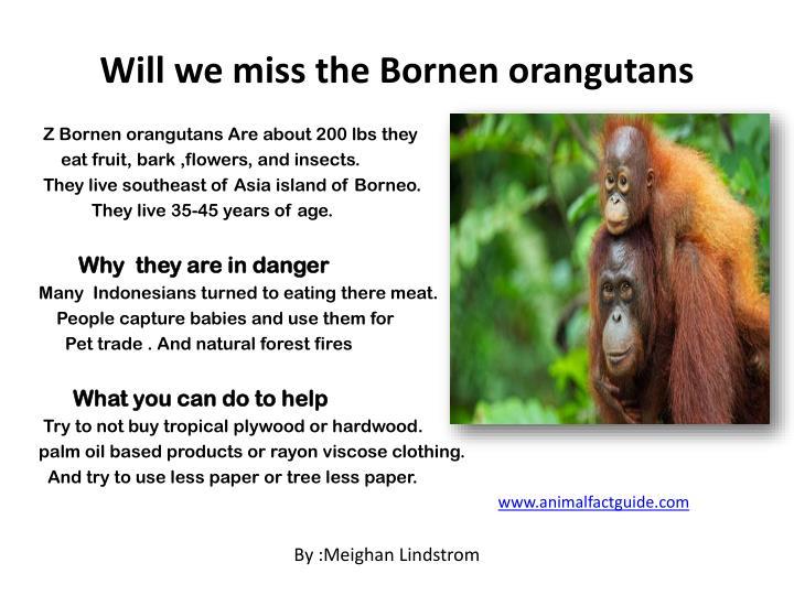 Will we miss the Bornen orangutans