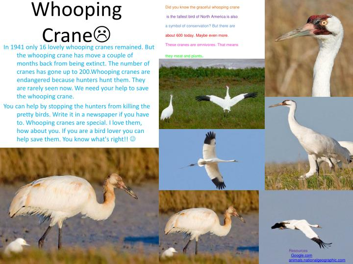 Did you know the graceful whooping crane