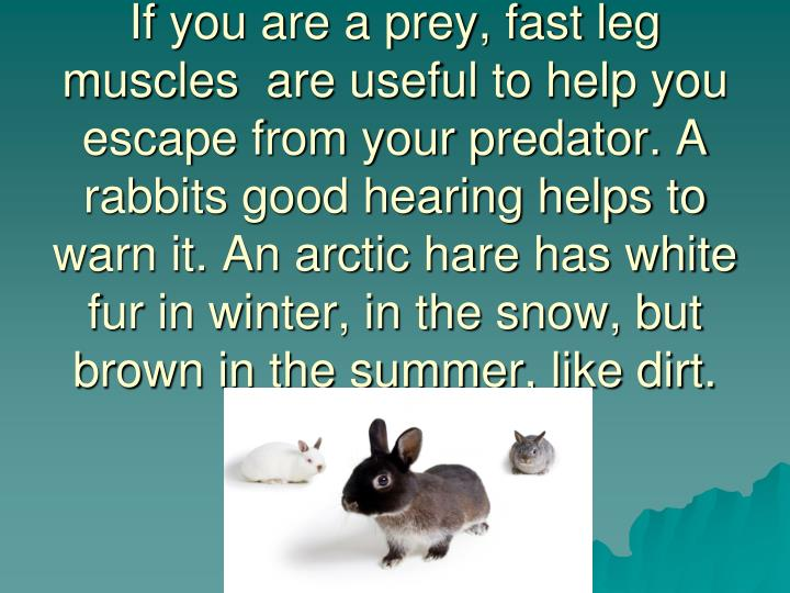 If you are a prey, fast leg muscles  are useful to help you escape from your predator. A rabbits good hearing helps to warn it. An arctic hare has white fur in winter, in the snow, but brown in the summer, like dirt.
