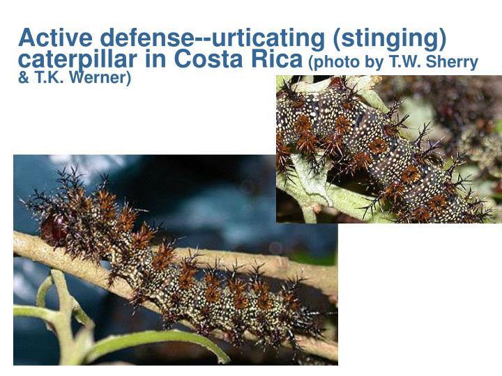 Active defense--urticating (stinging) caterpillar in Costa Rica