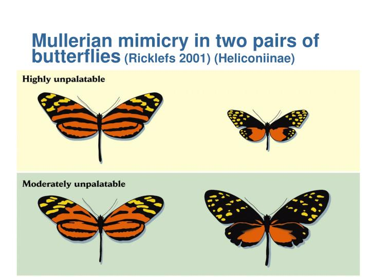 Mullerian mimicry in two pairs of butterflies