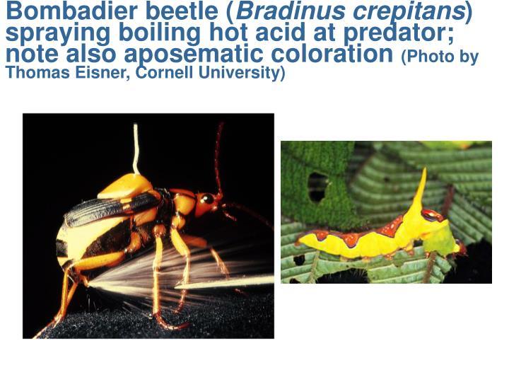 Bombadier beetle (