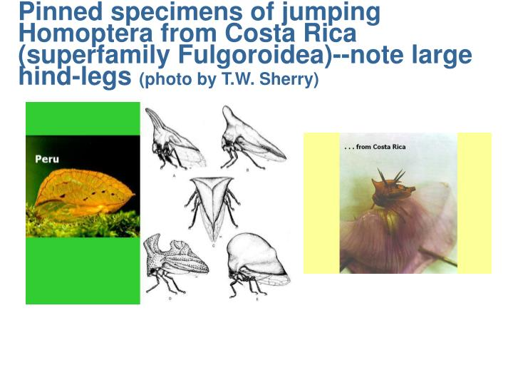 Pinned specimens of jumping Homoptera from Costa Rica (superfamily Fulgoroidea)--note large hind-legs