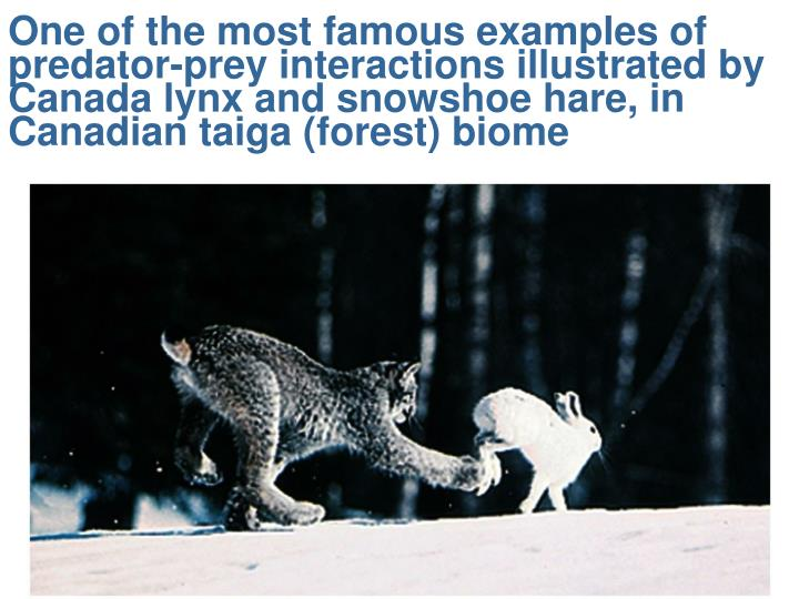 One of the most famous examples of predator-prey interactions illustrated by Canada lynx and snowsho...