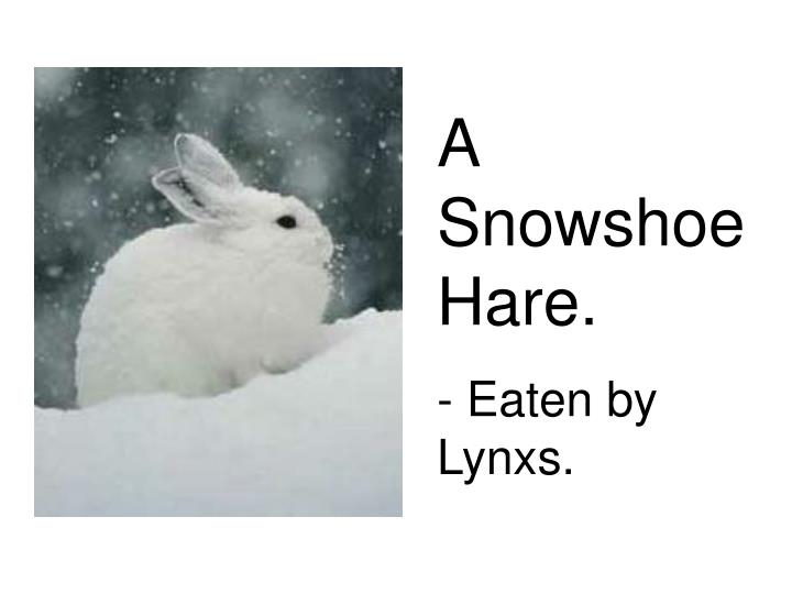 A Snowshoe Hare.