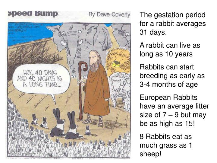 The gestation period for a rabbit averages 31 days.