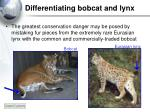 differentiating bobcat and lynx4