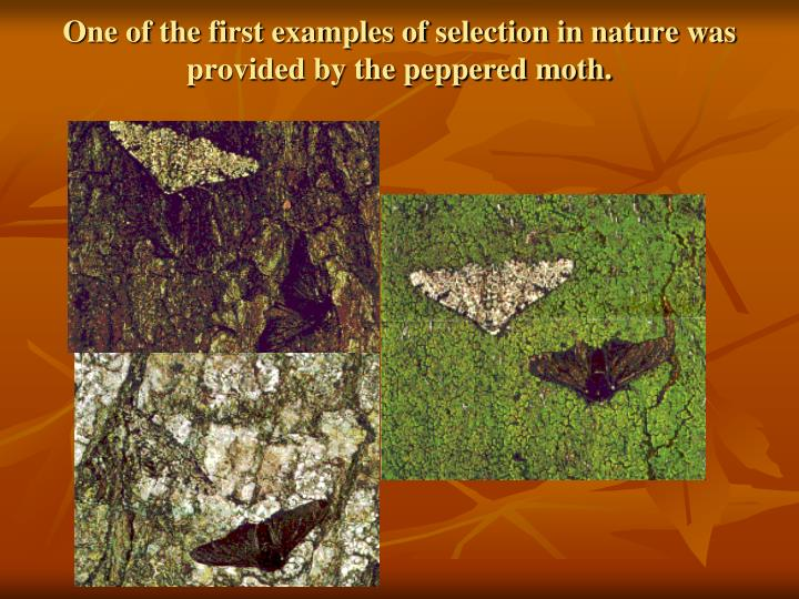 One of the first examples of selection in nature was provided by the peppered moth.