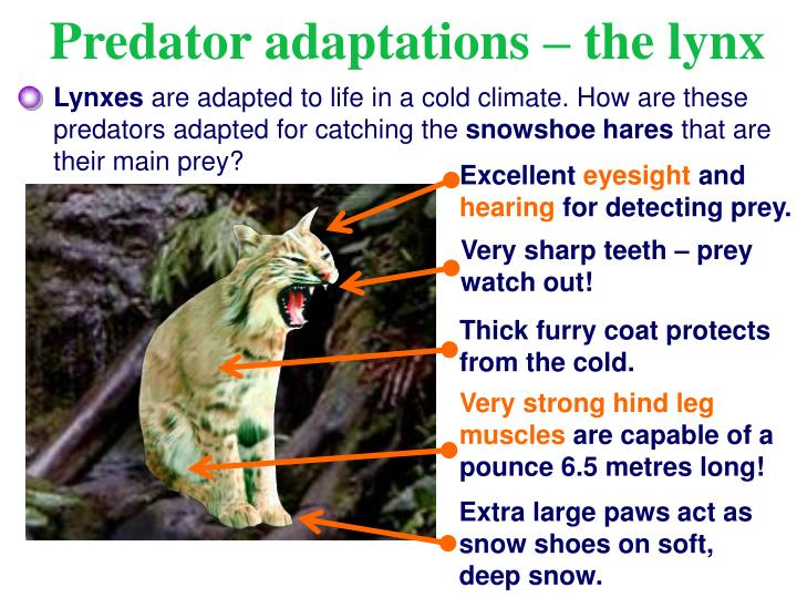 Predator adaptations – the lynx