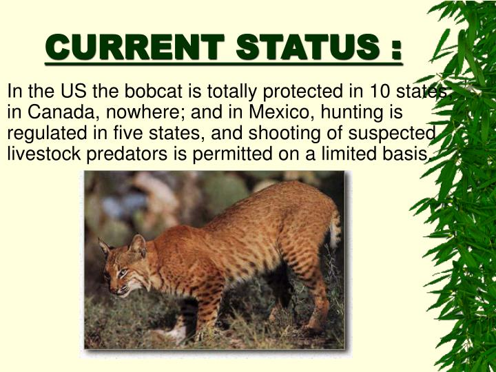 In the US the bobcat is totally protected in 10 states; in Canada, nowhere; and in Mexico, hunting is regulated in five states, and shooting of suspected livestock predators is permitted on a limited basis.