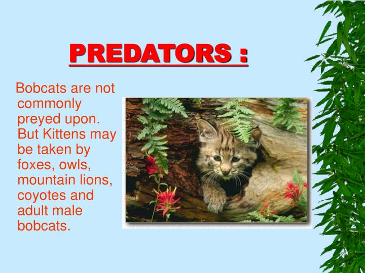 Bobcats are not commonly preyed upon.  But Kittens may be taken by foxes, owls, mountain lions, coyotes and adult male bobcats.