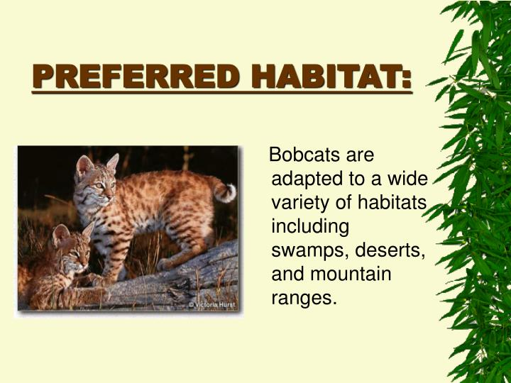 Bobcats are adapted to a wide variety of habitats including swamps, deserts, and mountain ranges.