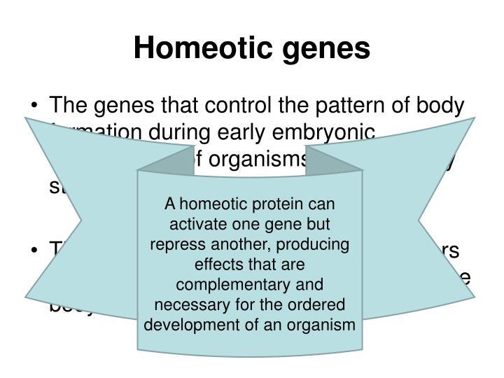 Homeotic genes