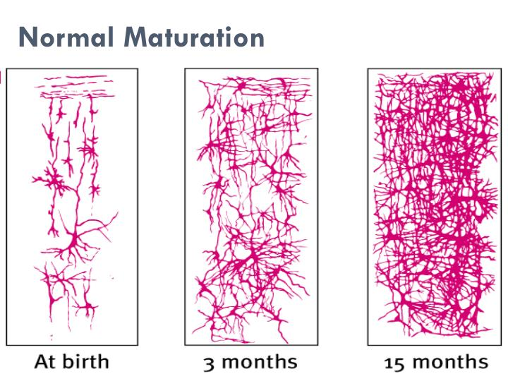 Normal Maturation