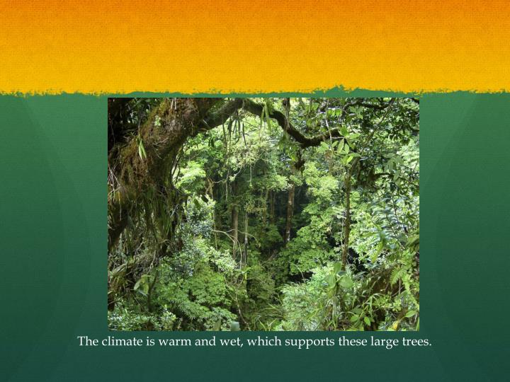 The climate is warm and wet, which supports these large trees.