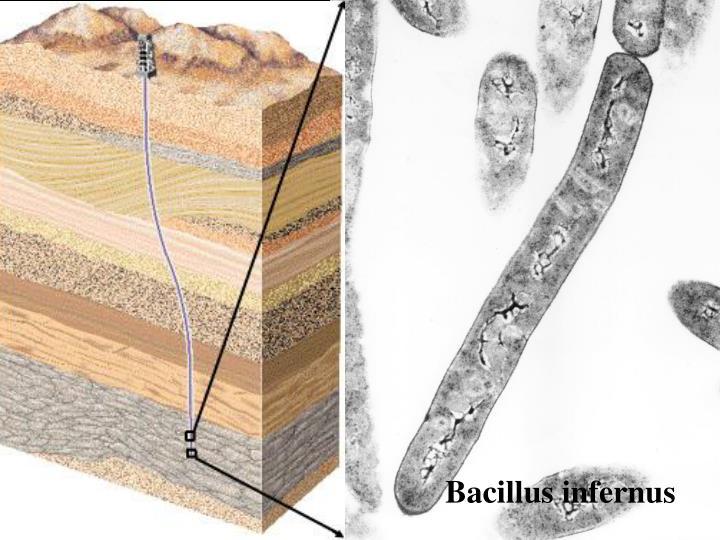Bacillus infernus