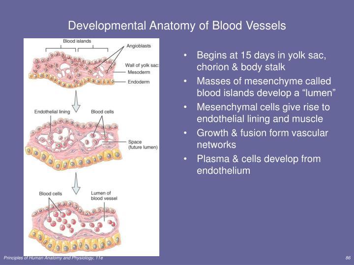 Developmental Anatomy of Blood Vessels