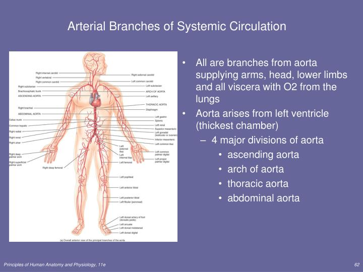 Arterial Branches of Systemic Circulation