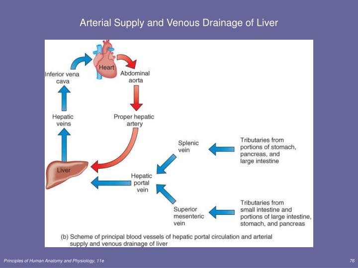 Arterial Supply and Venous Drainage of Liver