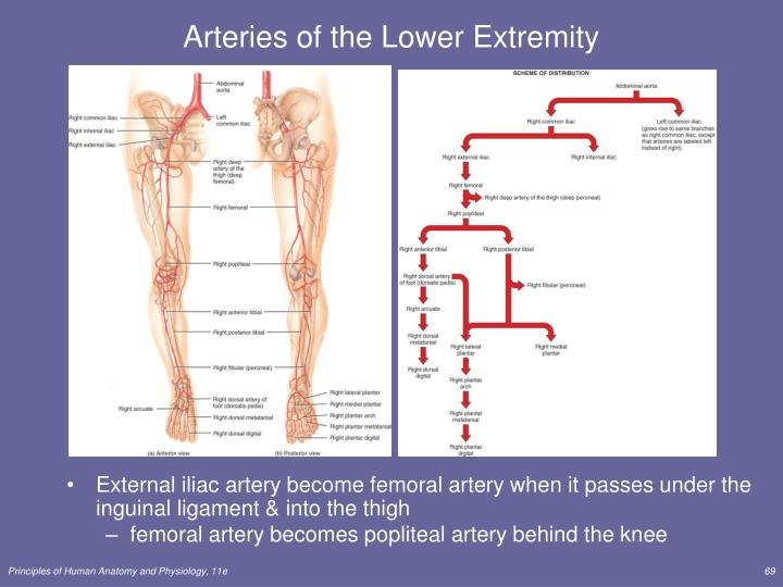 Arteries of the Lower Extremity