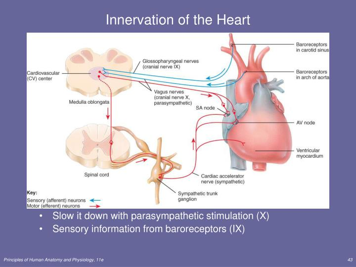 Innervation of the Heart