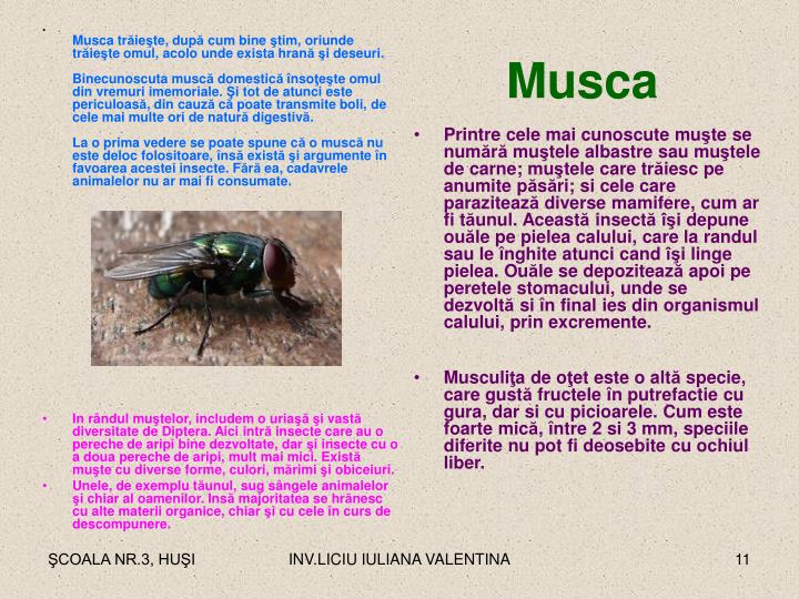 Musca tr
