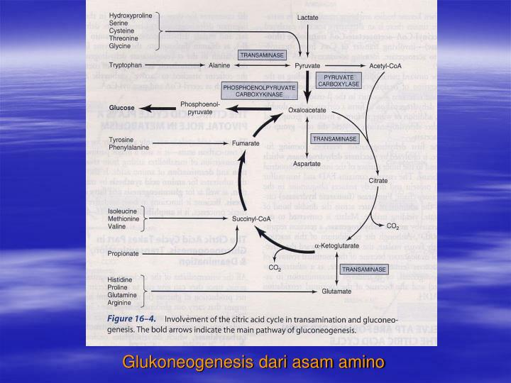 Glukoneogenesis dari asam amino