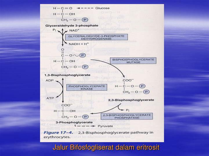 Jalur Bifosfogliserat dalam eritrosit