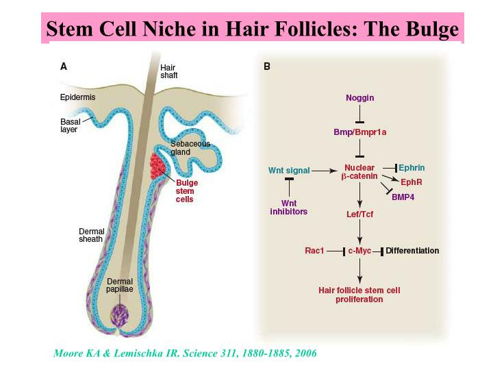 Stem Cell Niche in Hair Follicles: The Bulge