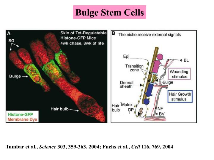 Bulge Stem Cells