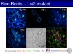 rice roots lsi2 mutant