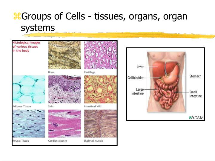 Groups of Cells - tissues, organs, organ systems
