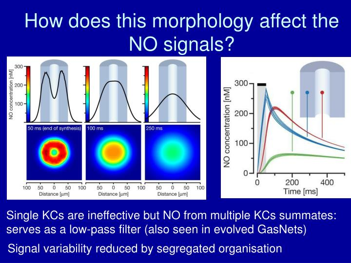 How does this morphology affect the NO signals?