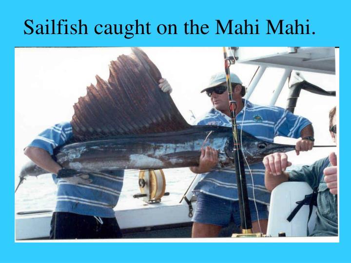 Sailfish caught on the Mahi Mahi.