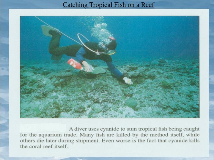 Catching Tropical Fish on a Reef