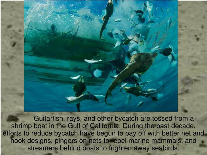 Guitarfish, rays, and other bycatch are tossed from a shrimp boat in the Gulf of California. During the past decade, efforts to reduce bycatch have begun to pay off with better net and hook designs, pingers on nets to repel marine mammals, and streamers behind boats to frighten away seabirds.
