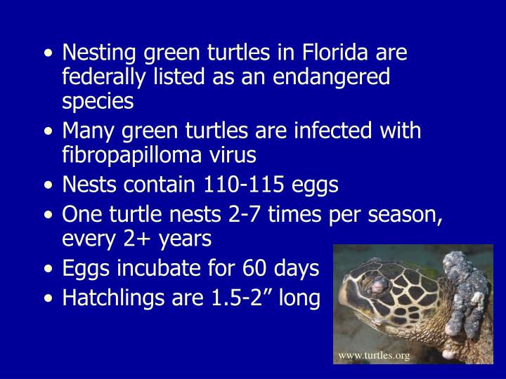 Nesting green turtles in Florida are federally listed as an endangered species