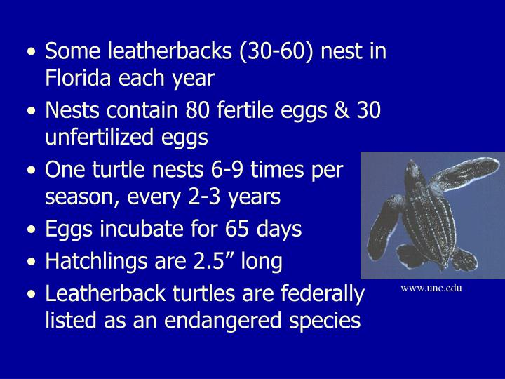 Some leatherbacks (30-60) nest in Florida each year