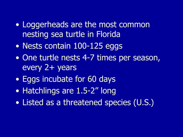 Loggerheads are the most common nesting sea turtle in Florida