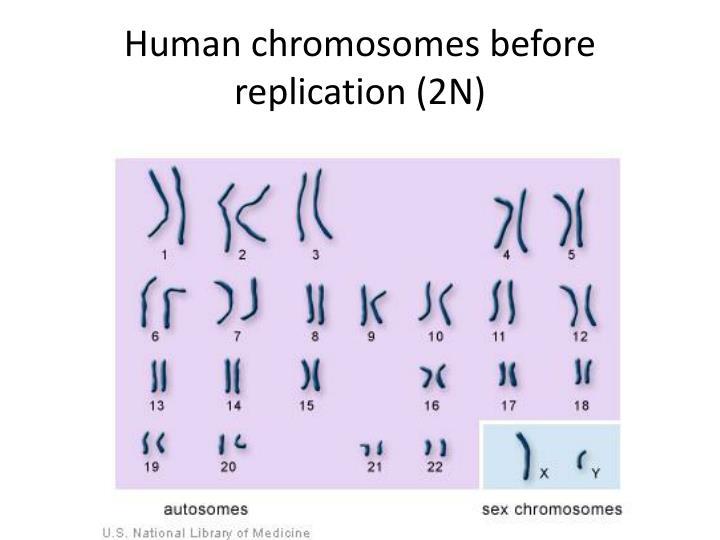 Human chromosomes before replication (2N)
