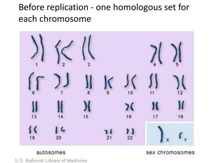 Before replication - one homologous set for each chromosome