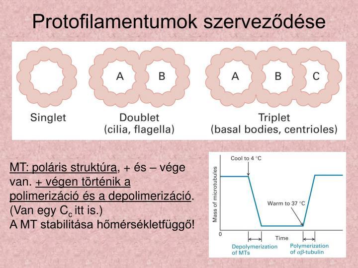 Protofilamentumok szerveződése