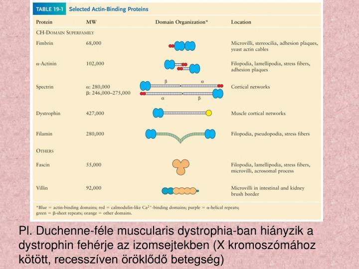 Pl. Duchenne-féle muscularis dystrophia-ban hiányzik a dystrophin fehérje az izomsejtekben (X kromoszómához kötött, recesszíven öröklődő betegség)