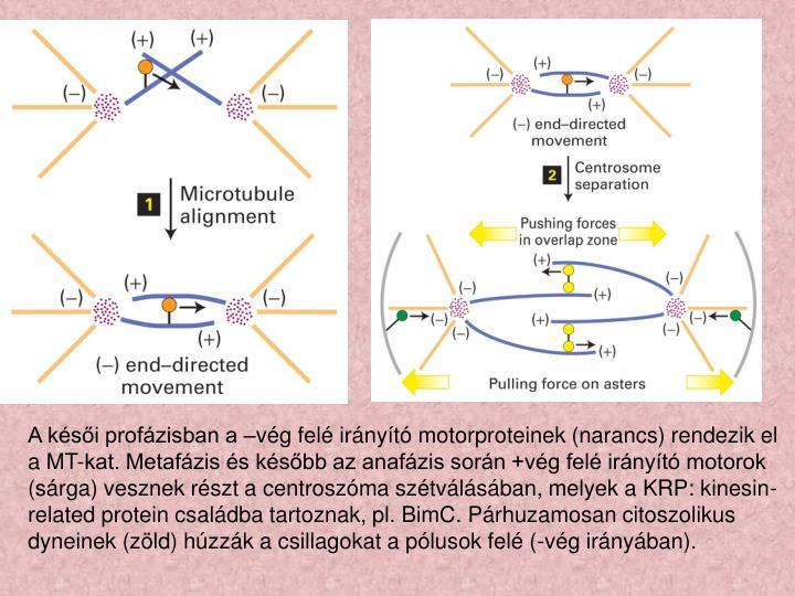 A késői profázisban a –vég felé irányító motorproteinek (narancs) rendezik el a MT-kat. Metafázis és később az anafázis során +vég felé irányító motorok (sárga) vesznek részt a centroszóma szétválásában, melyek a KRP: kinesin-related protein családba tartoznak, pl. BimC. Párhuzamosan citoszolikus dyneinek (zöld) húzzák a csillagokat a pólusok felé (-vég irányában).