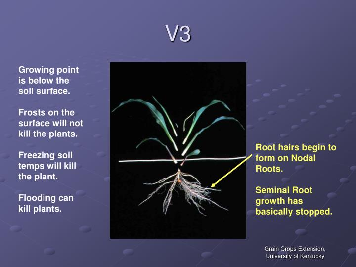 Root hairs begin to form on Nodal Roots.