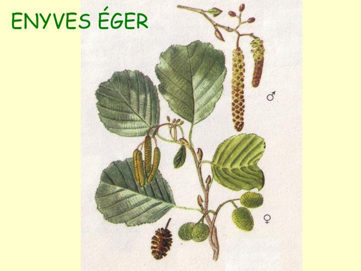 ENYVES ÉGER
