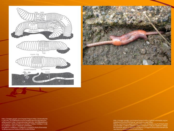 http://images.google.com/imgres?imgurl=http://sciencefun4all.net/Life_Sci/05BodyStructure/Images/Worms/reproduction.gif&imgrefurl=http://sciencefun4all.net/Life_Sci/05BodyStructure/Support_Materials/Worms.html&h=720&w=640&sz=112&hl=en&start=1&um=1&tbnid=qJrbTttNVx_-hM:&tbnh=140&tbnw=124&prev=/images%3Fq%3Dannelida%2Breproduction%26um%3D1%26hl%3Den