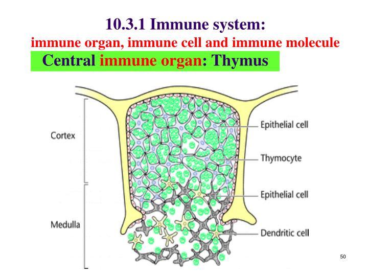 10.3.1 Immune system: