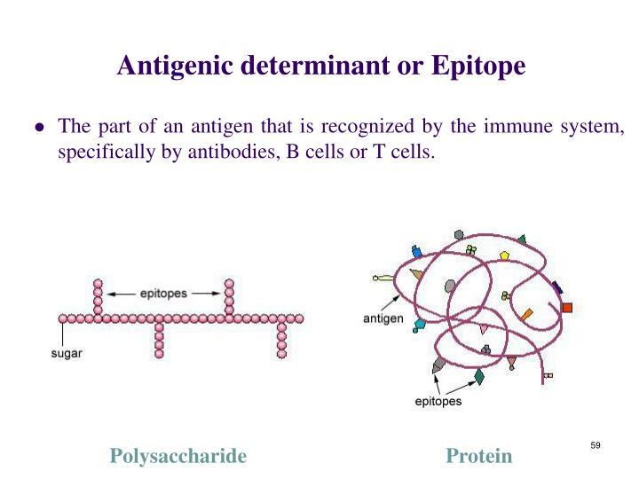 Antigenic determinant or Epitope