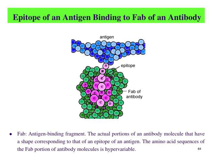 Epitope of an Antigen Binding to Fab of an Antibody